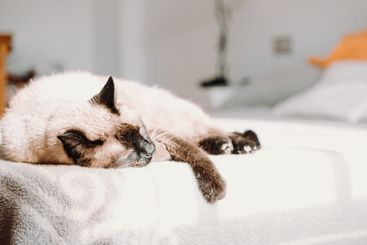 Siamese cat resting in the bed while looking sleeping...