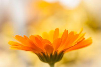 Light of Autumn -Marygold