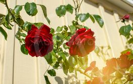 Closeup of red roses in sunny alley