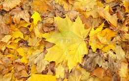 Yellow autumn background from fallen foliage of maple