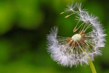 Seeds of the Dandelion flower
