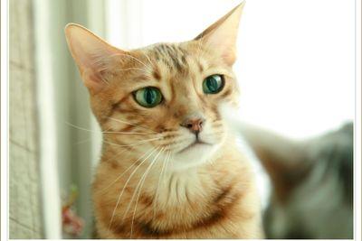 Afrodite Cat