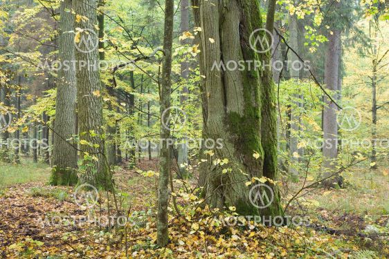 Old linden in autumnal forest