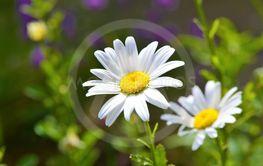 Oxeye Daisy (Leucanthemum vulgare).