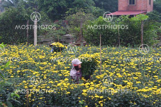 people Harvest flowers on field