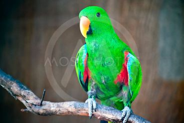 Green macaw standing
