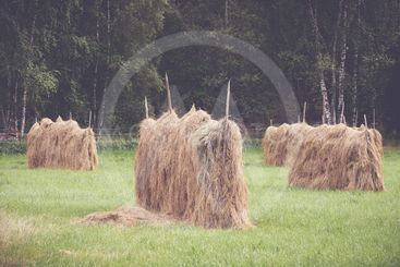 Drying hay in the old fashioned way during late summer