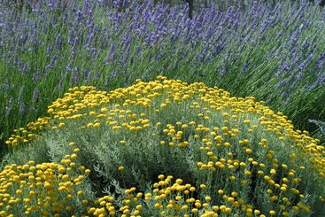 Lavender and wormwood