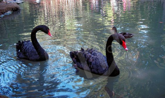 Two black swan on the lake