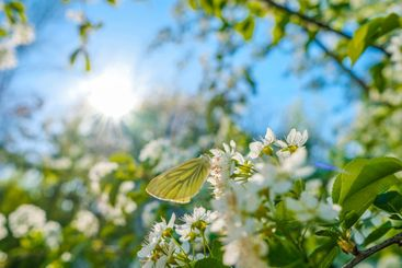 Butterfly on the flowers of an apple tree in the rays of...