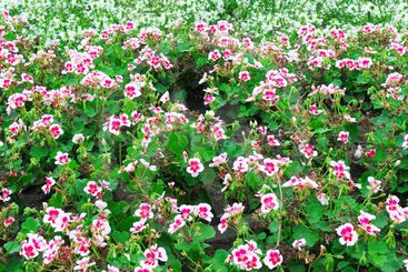 beautiful background of blooming geraniums