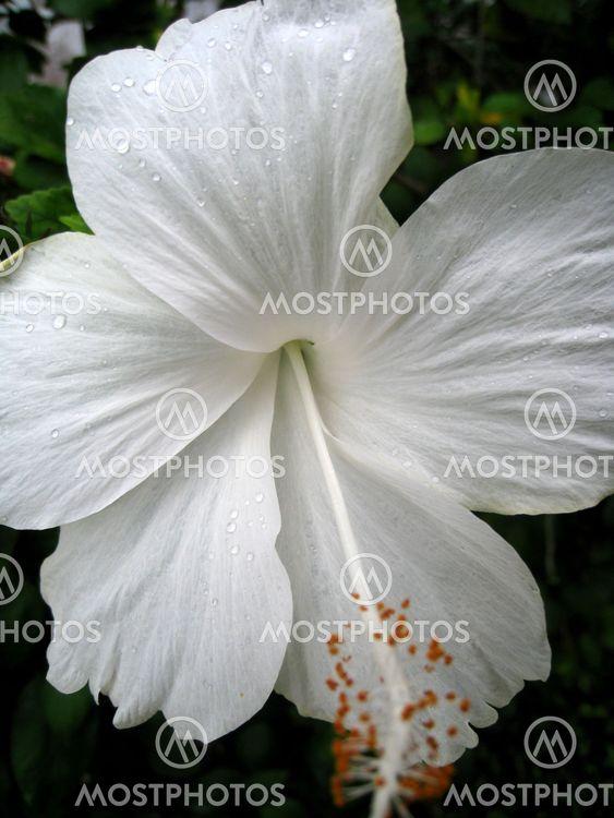 Valkoinen Hibiscus