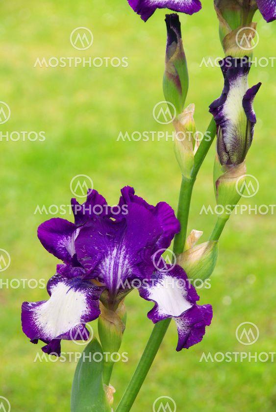 Schwertlilie - iris 51