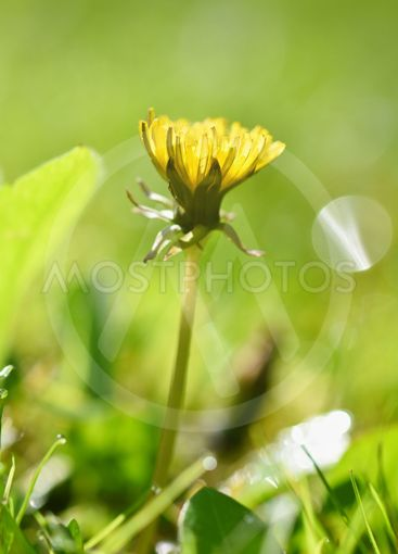 Beautiful natural background of green grass and dandelion...