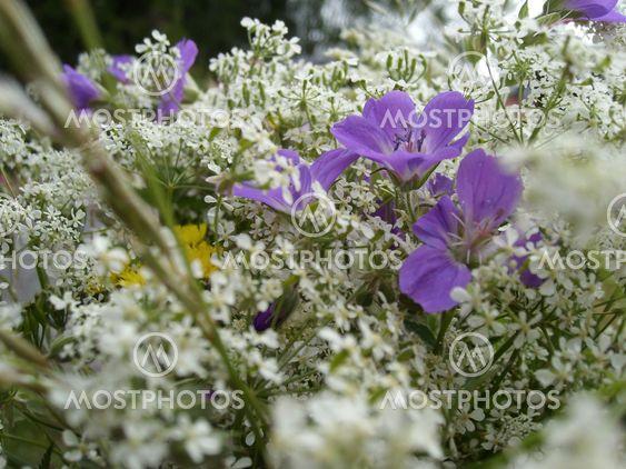 Midsummer Flowers By Jenny Bolin Mostphotos