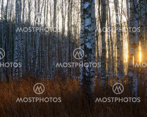 Sunrise through a dense birch forest