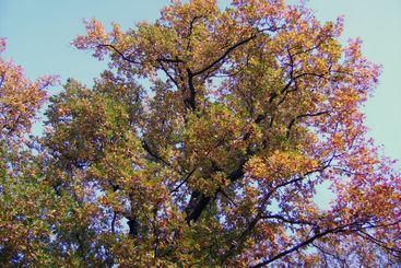 Tree with yellow leaves in sun beams