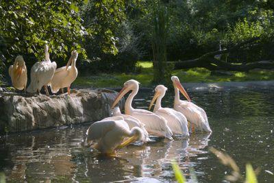 Herd of white-pink pelicans