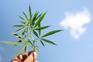 guy holds a twig with hemp leaves on a background of...