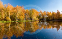 Russian autumn landscape with birches and pond