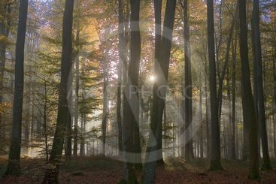 france,forêt de lyons: soleil, hêtre et feuilles d'automne