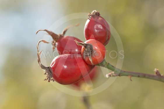 Rosehip berries in a small cluster