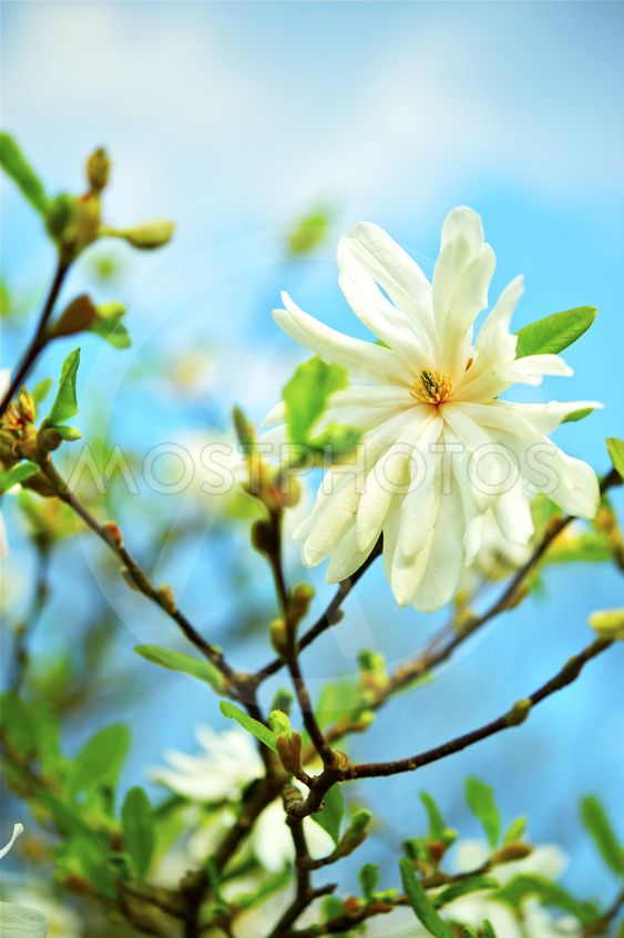 Star Magnolia -Stellata