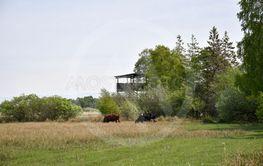 Betande kor vid fågeltornet i Djurstadträsk på Öland