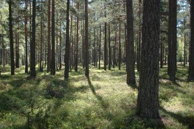 Blåbärsskog