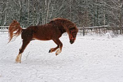 Winter horse.