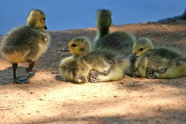 Four Baby Geese