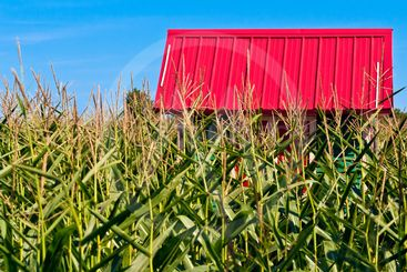 Red Roof in a Corn Field