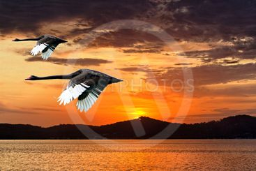 Two Swans in Full Flight at Dawn.