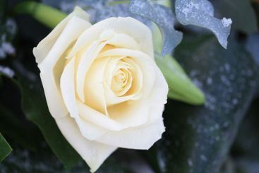 Frosted white rose