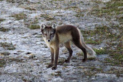 Arctic fox (summertime)