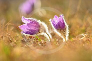 Spring flowers. Nature and meadow at sunset. Seasonal...