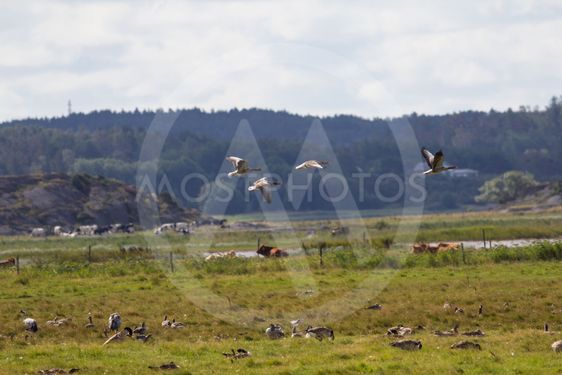 Flygande gäss