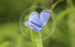 Polyommatus dorylas, the turquoise blue butterfly of the...