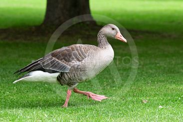 homemade goose on a green lawn