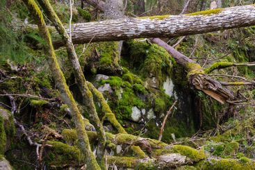 Moss covered tree limbs, Halleberg, Sweden, Europe