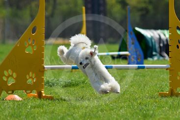 Poodle in agility
