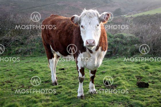 Brown and white cow in a field.