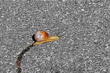Ensam snigel kryper på asfalt med långt slemspår efter sig.
