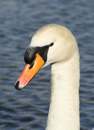 Close up of a friendly swan.