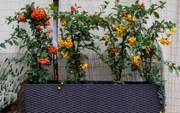 Different varieties of growing pyracantha, picturesque...