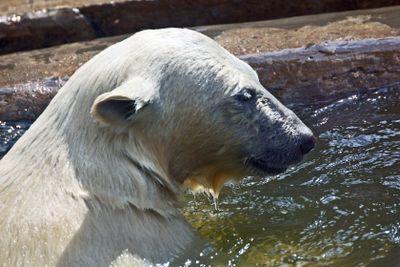 Polar bear. Ursus maritimus.