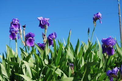 Vild iris