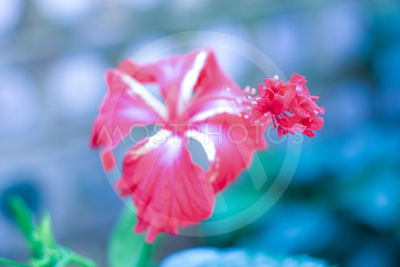 One Chaba Flower Hibiscus Av Sb Stock Mostphotos