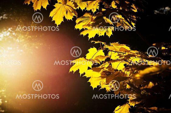 Gula lönnlöv på kvist i solsken i september