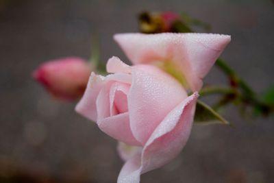 Pink Rose Dew I